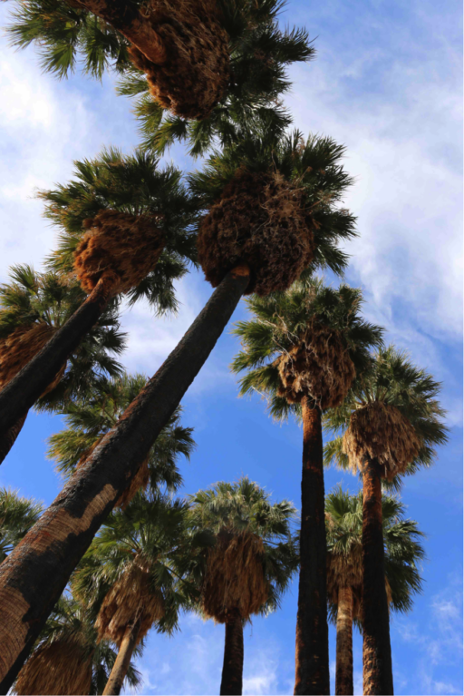 A stand of palm trees shot from below beneath a partly cloudy sky
