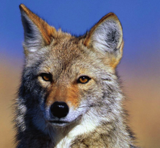 Facial closeup photo of coyote in front of blurred background suggesting desert sand and sky